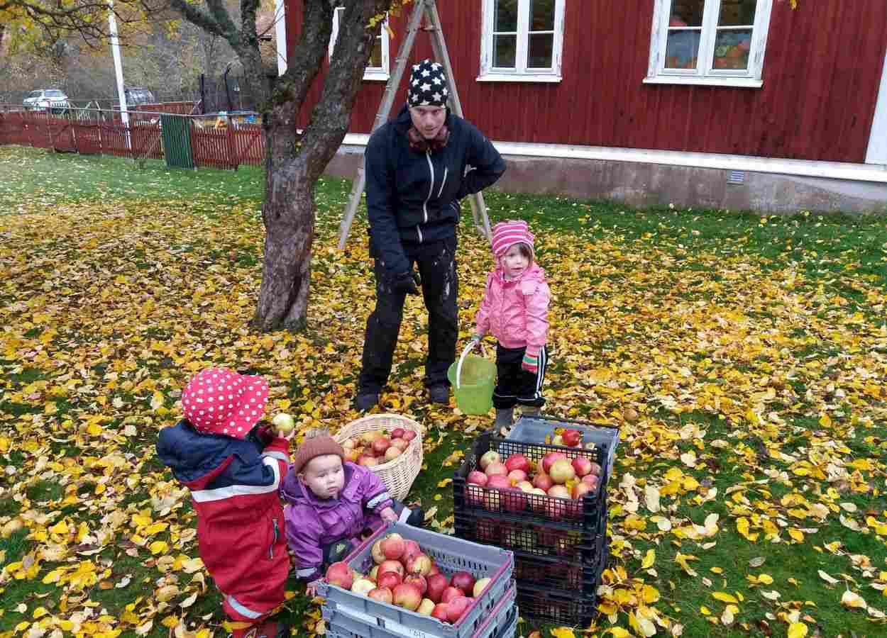 Dags att skörda äpplen